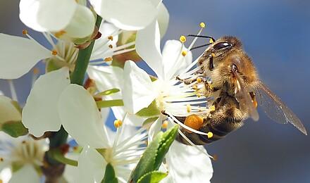 Bee on cherry blossom 1403010 1920